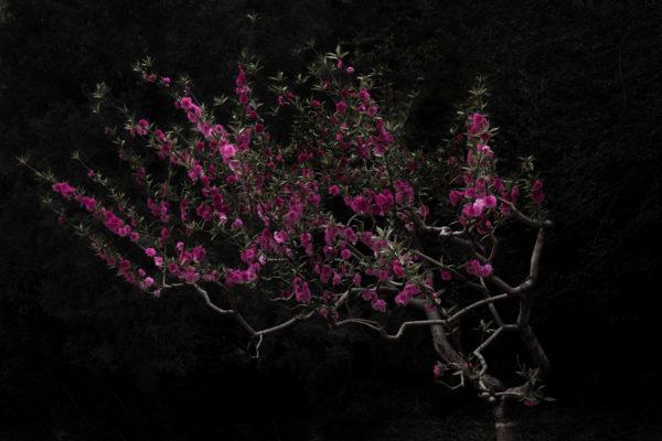 peach_tree_shen